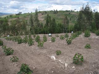 jatropha intercropping 大豆、枝豆