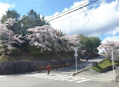 気仙沼の桜