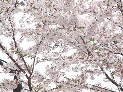瑞風園の桜(雨)