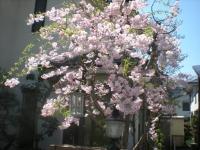 我が家の桜