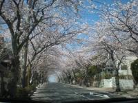 久木の桜」