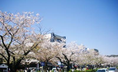 富山ブライダルエステアンジェ・ド・ポー鎌倉鶴岡八幡宮桜並木
