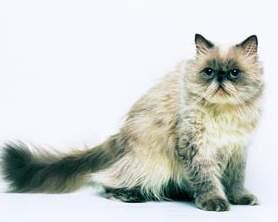 ヒマラヤン種のネコ