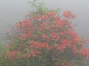霧の中のレンゲツツジ