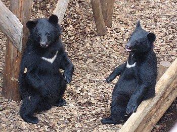 動物園に保護されたコグマ
