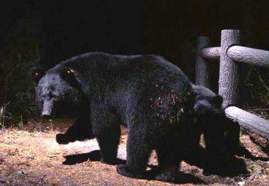 遊歩道を歩くクマの親子