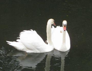 ペアの白鳥