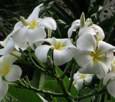 ハワイ6プルメリア