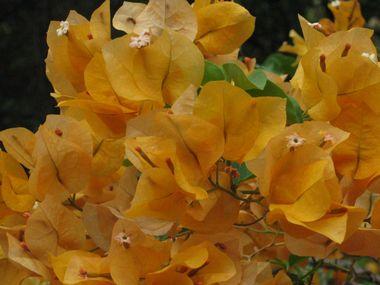 黄色ブーゲンビリア