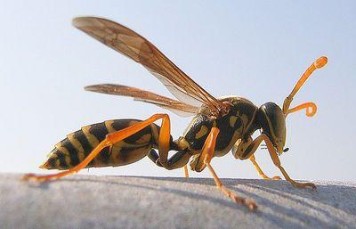 アシナガバチ2