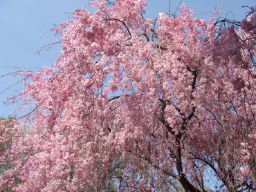 自宅前の枝垂桜