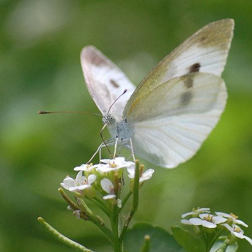 モンシロチョウとクレソンの花 ... : カタカナの : すべての講義