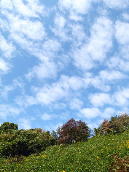 秋空のうろこ雲と木立