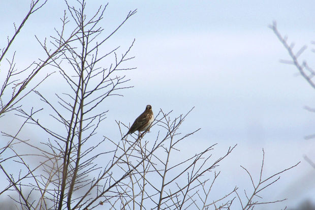 冬の枝のホウジロ