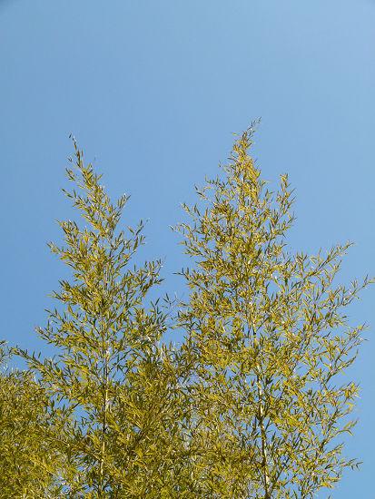 冬空と竹の葉