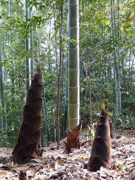 竹林のタケノコ