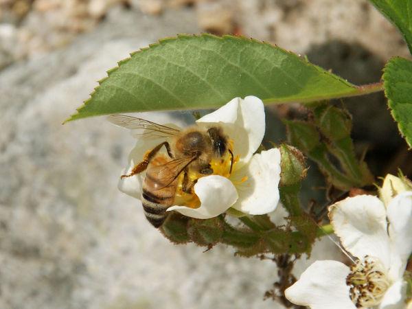 ノイバラとミツバチ