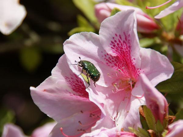 ツツジの花とハナムグリ