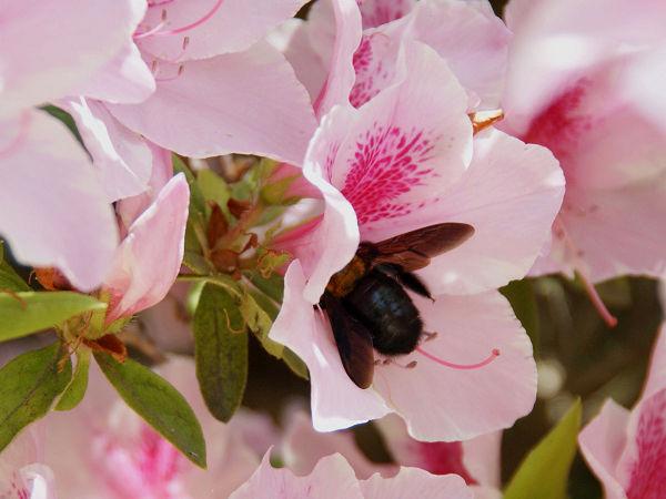 ツツジの花とクマバチ