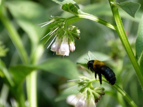 コンフリーの花とクマバチ