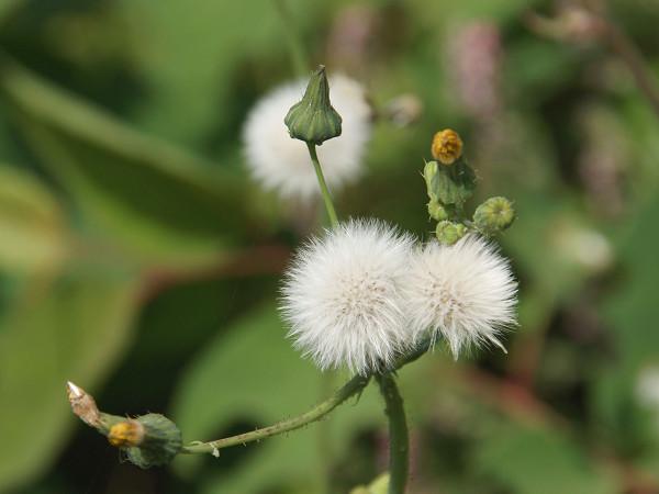 ハルノノゲシの綿毛