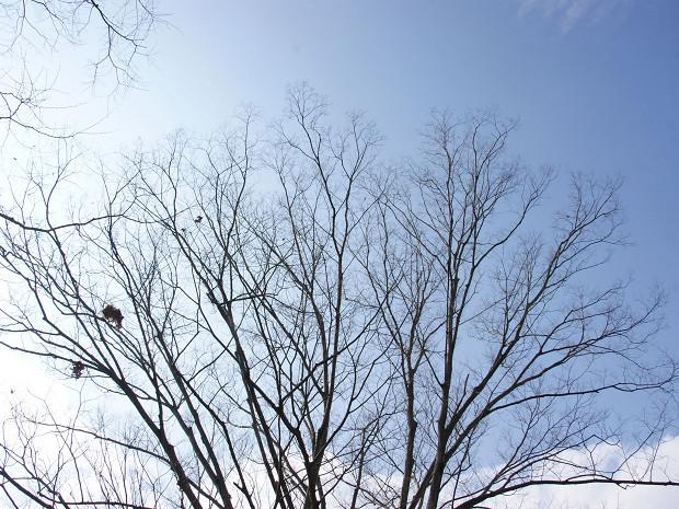 ケヤキの冬木立