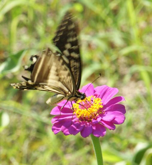 百日草とアゲハチョウ