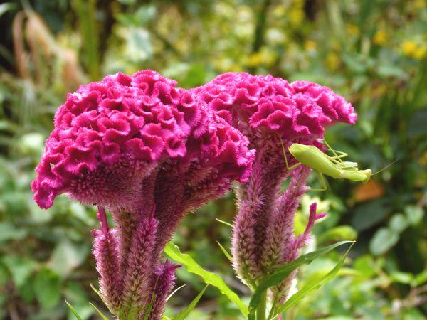 ケイトウの花とカマキリ