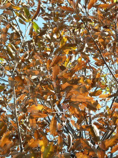 秋のクヌギの葉
