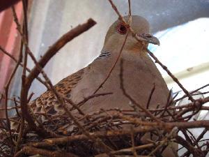 卵を抱く鳩