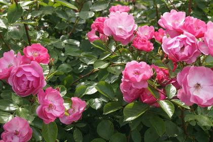 38-garden-cafe_山形_上山_カフェ_パンケーキ_花畑_ミツバチガーデンカフェ_26.jpg