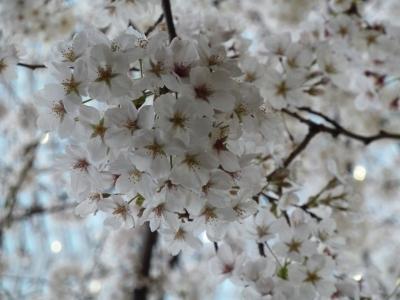毛利庭園まんまる桜