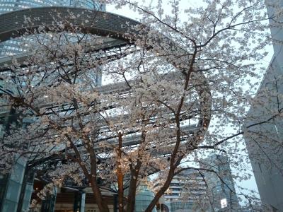 けやき坂の桜
