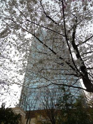 オフィス棟と桜