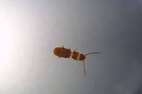 カクムネヒラタムシ(成虫)
