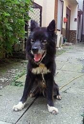近所のクロ犬