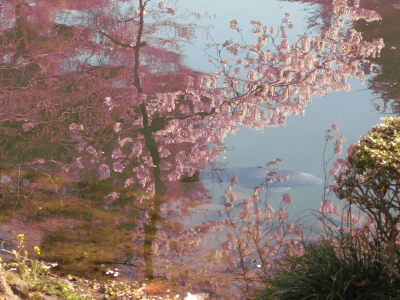 御苑2011春3鯉