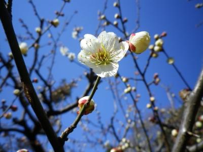 新宿御苑2013、春2