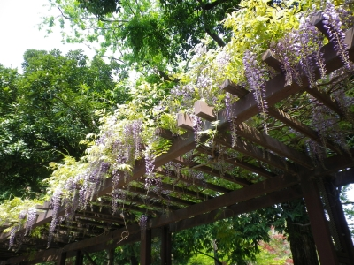 蚕糸の森 藤棚1