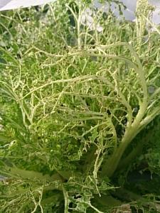 ヨトウムシ 白菜