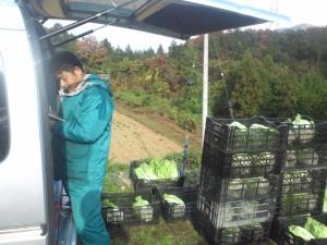 白菜 収穫 まぐろ