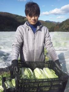 白菜収穫 フェロモン