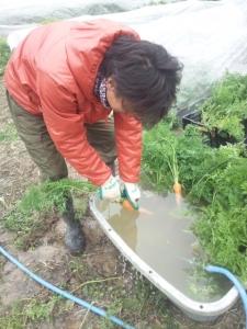 西洋ニンジン フェロモン 洗う