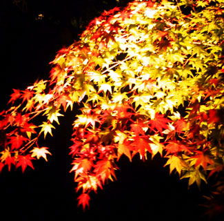 SCARLET MAPLE LEAVES ILLUMINATED