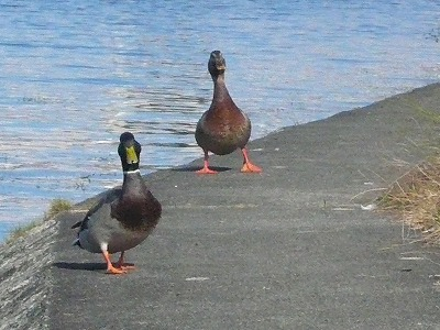 琵琶湖撮影11月12日 056.jpg