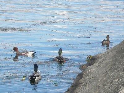 琵琶湖撮影11月12日 070.jpg
