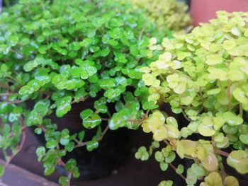 ベビーティアズ 観葉植物