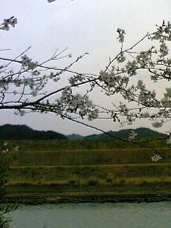 南国高知、四万十の桜