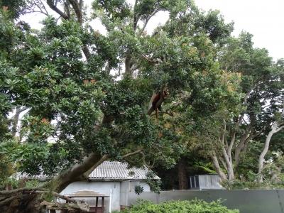 熱川 バナナワニ園 レッサーパンダ
