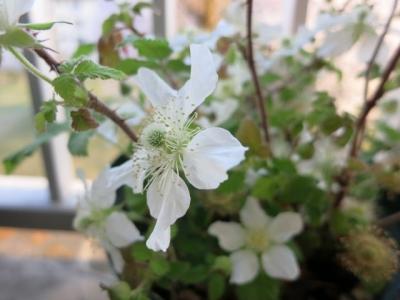 ラズベリーの花